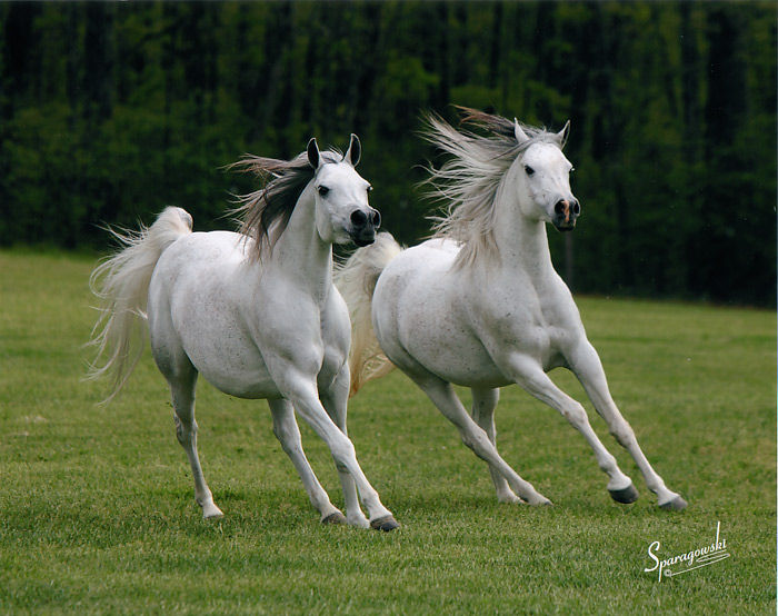 Two Silos Farm Egyptian Arabian Horse Farm Profile